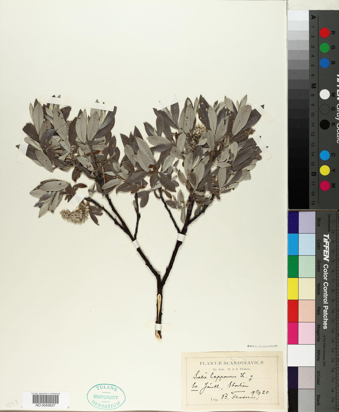 Salix lapponum image