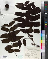 Image of Juglans australis