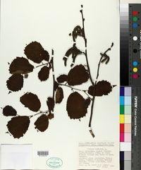 Corylus avellana image