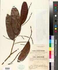 Image of Castanopsis javanica