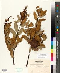 Chrysolepis chrysophylla image
