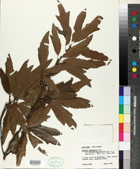 Quercus x subfalcata image