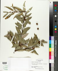 Quercus chrysolepis image