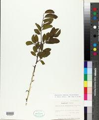 Image of Phyllostylon brasiliense