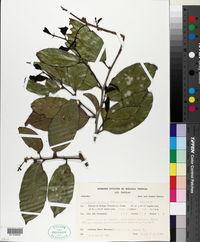 Image of Ampelocera hottlei