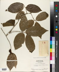 Image of Ampelocera cubensis