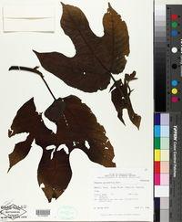 Image of Bagassa guianensis