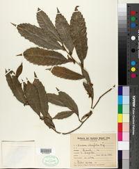 Image of Sorocea hilarii