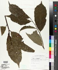 Image of Clarisia ilicifolia