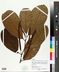 Image of Batocarpus amazonicus