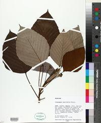 Image of Coussapoa ovalifolia