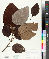 Image of Coussapoa nitida