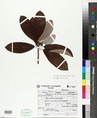 Image of Coussapoa oligocephala