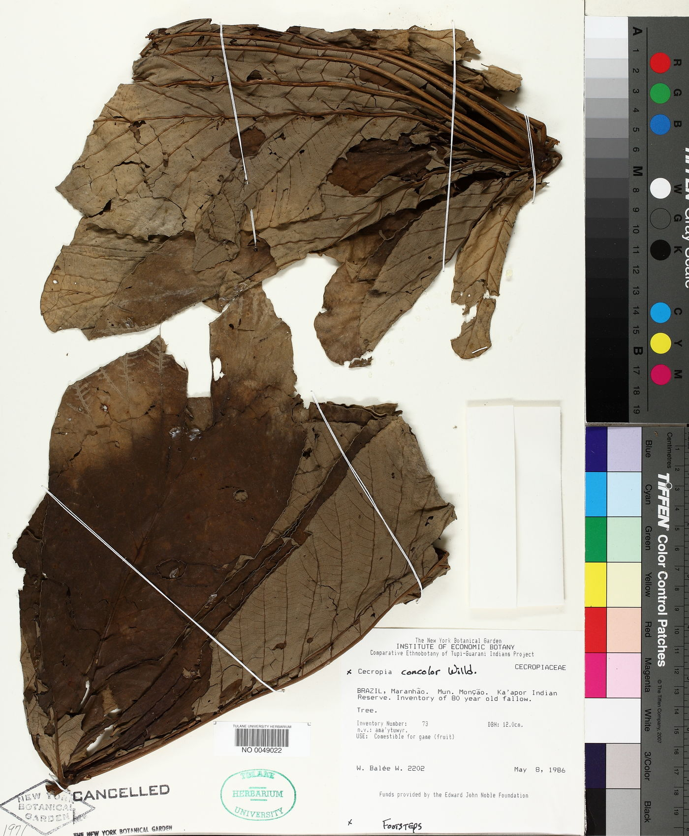 Cecropia concolor image