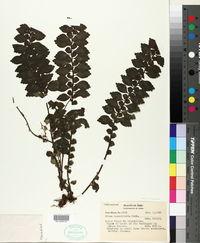 Image of Pilea imparifolia