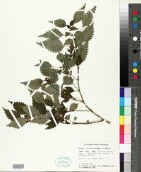 Image of Pilea auriculata