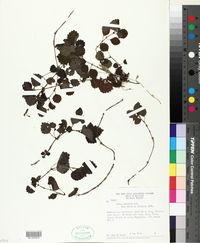 Image of Pilea lobulata