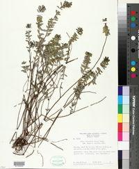 Image of Pilea lanceolata