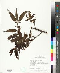 Phenax rugosus image
