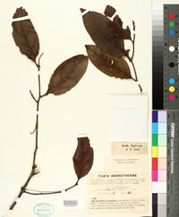 Image of Dendrophthoe pentandra