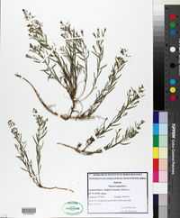 Image of Thesium linophyllon