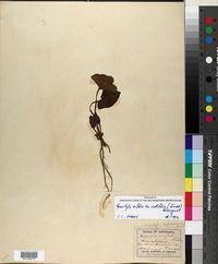 Hexastylis arifolia var. callifolia image