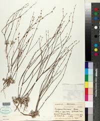 Eriogonum davidsonii image