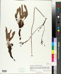 Eriogonum atrorubens image