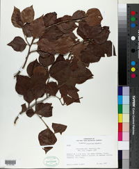 Image of Coccoloba fuertesii