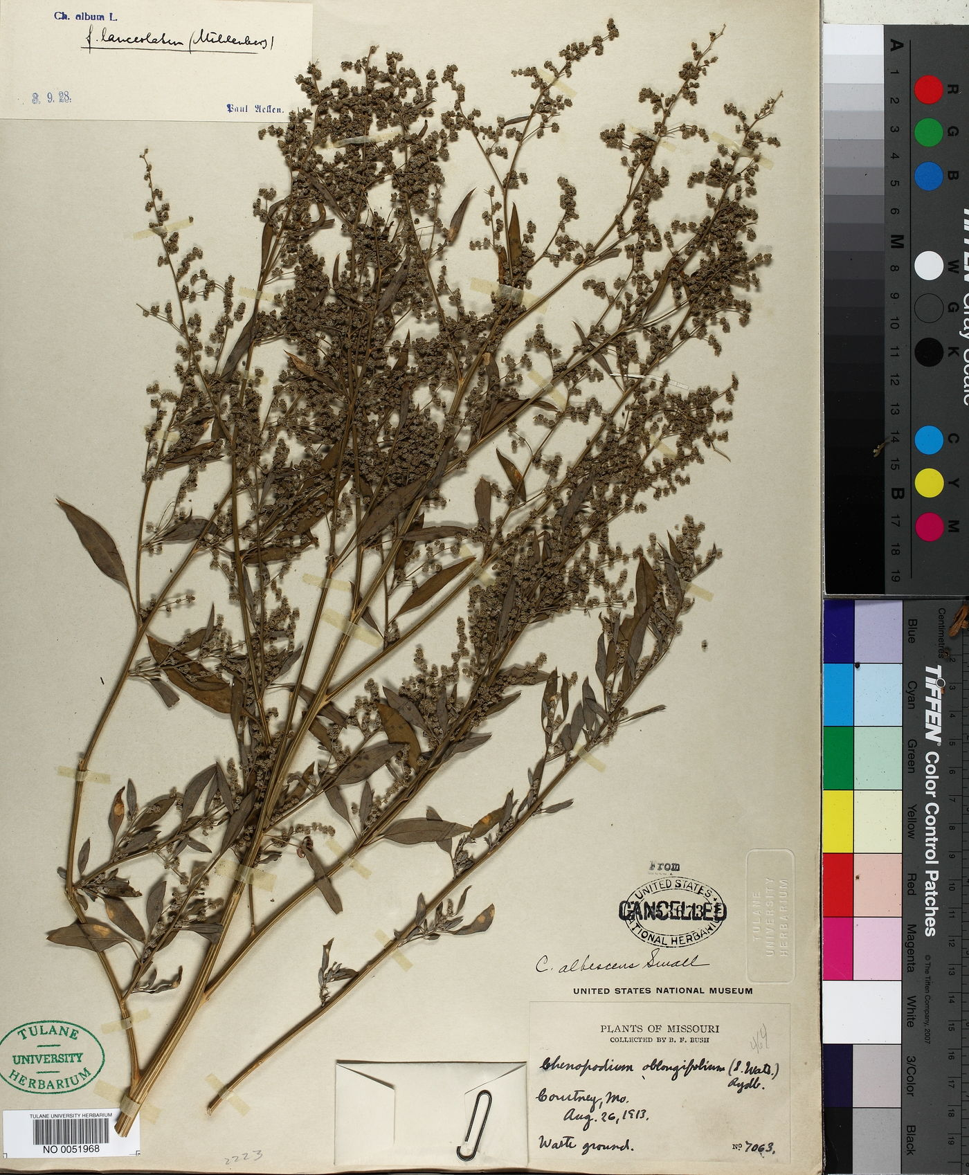 Chenopodium albescens image