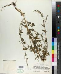 Chenopodium fremontii image