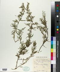 Image of Chenopodium nitrariaceum