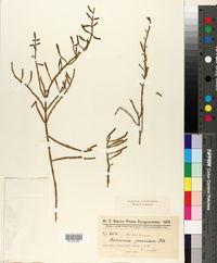 Image of Salicornia andina