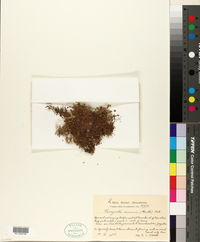 Image of Amaranthus minimus