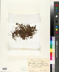 Image of Alternanthera serpyllifolia