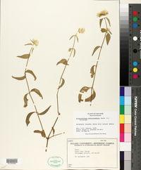 Image of Alternanthera echinocephala