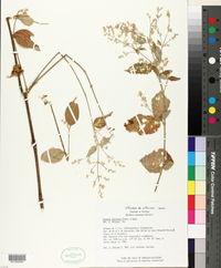 Iresine latifolia image