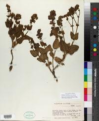 Mirabilis rotundifolia image