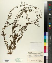 Limeum aethiopicum aethiopicum image