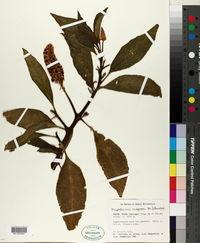 Phytolacca rugosa image