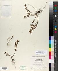 Image of Portulaca teretifolia
