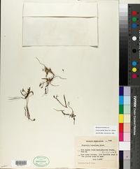 Lewisia triphylla image