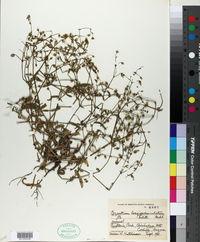 Cerastium longipedunculatum image