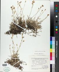Image of Cerastium argenteum