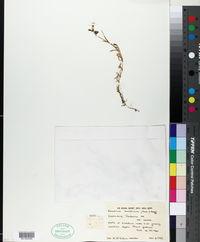 Image of Cerastium banaticum