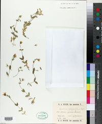 Image of Cerastium polymorphum