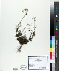 Spergula morisonii image