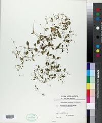 Moehringia trinervia image