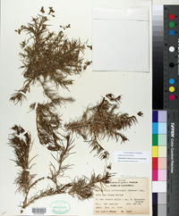 Image of Spergularia clevelandii