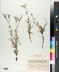 Image of Spergularia grandis